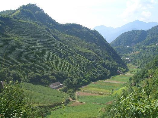 На таких плантациях растет чай