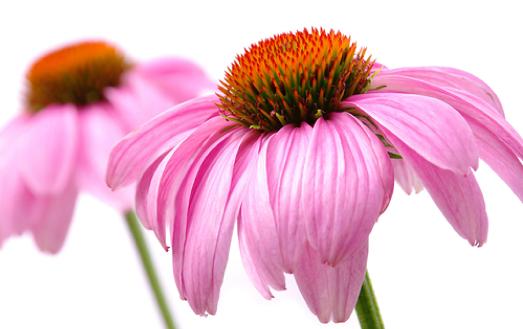 А вот так выглядят сами цветы