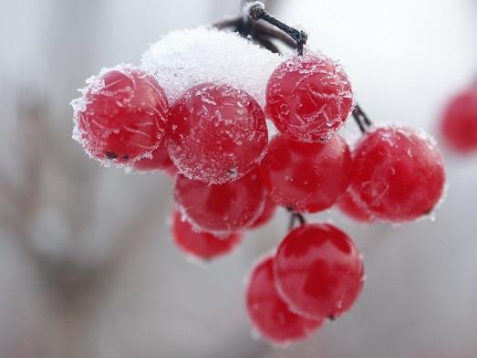 Покрытые инеем ягоды имеют особенный вкус