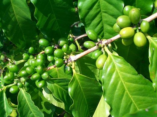 Вот так выглядит кофе на дереве