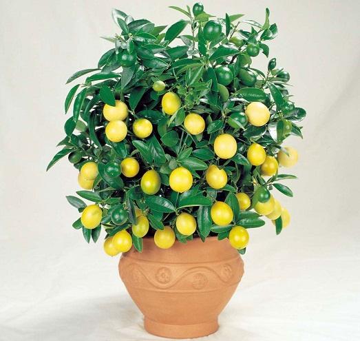 Как можно вырастить настоящий лимон?