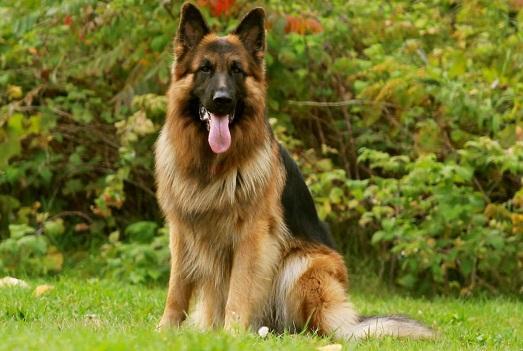 Сильный пес