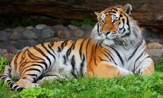 Тигр  картинки для детей фото стишки видео  Картинки