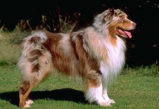 Австралийская овчарка - самые умные и добрые собаки