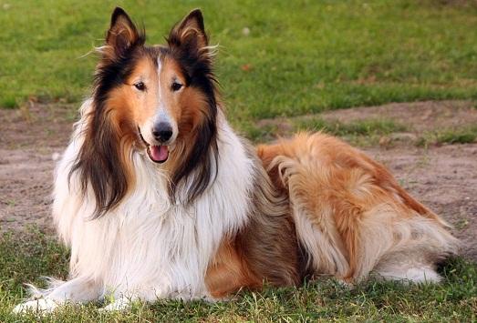 Колли - какие собаки самые умные и добрые