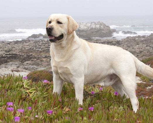 Лабрадор - самая умная и добрая собака