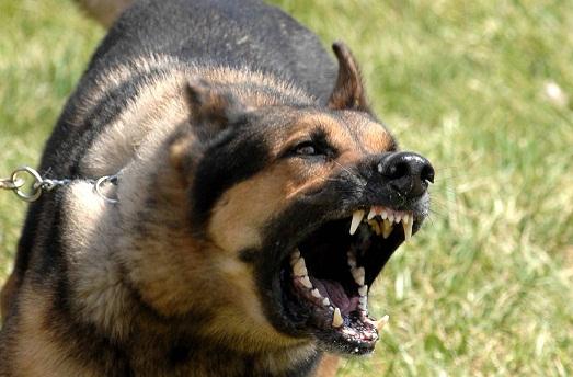 очень злые собаки