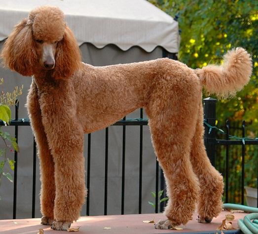 Пудель - самая умная и добрая собака