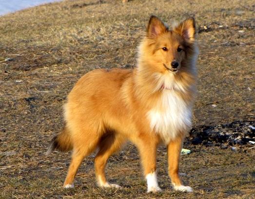 Шелти - самая умная и добрая собака
