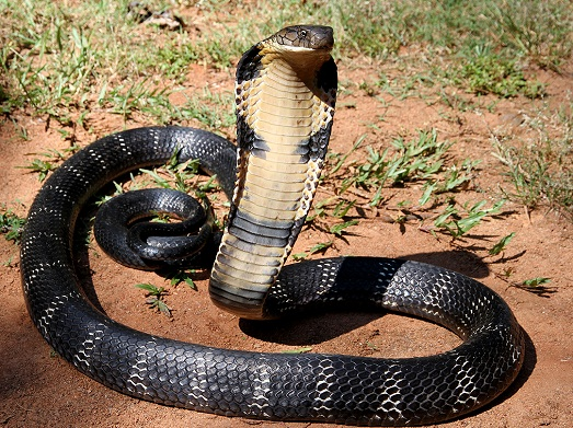 Ужасная кобра