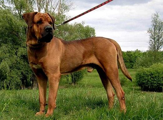 Японская собака