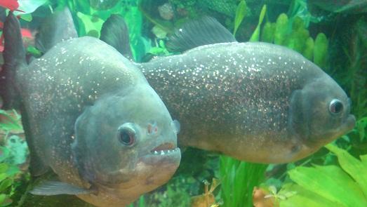 Злобные рыбки