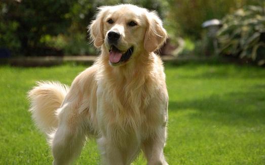 Золотистый ретривер - самая умная и добрая порода собак