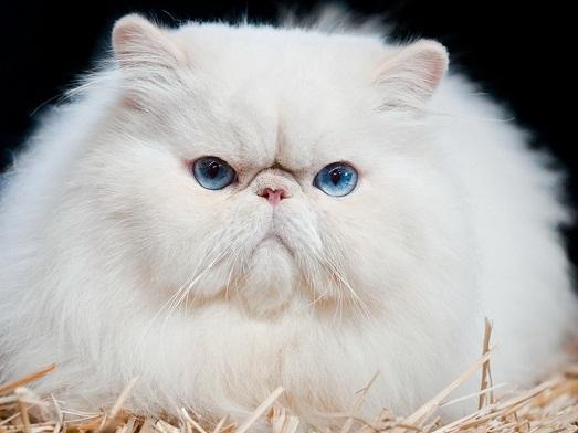 Как ухаживать за породой персидских котов?