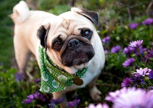 Мопс – шикарная собака и настоящий друг