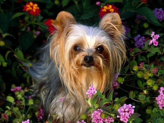Йоркширский терьер – собака, которой нужен правильный уход