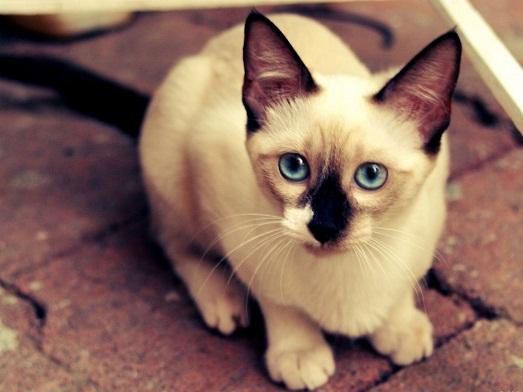 Сиамские кошки – настоящие королевы