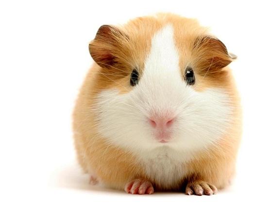 Правильный уход за морскими свинками