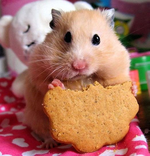 Кушает печеньку