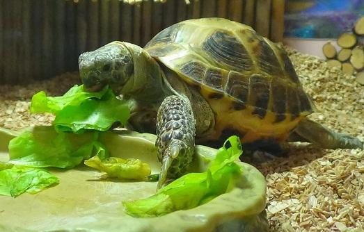 Про черепах сухопутных домашних условиях