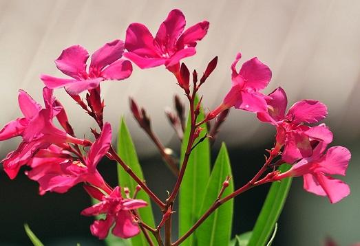 Как вырастить цветок олеандр в домашних условиях?