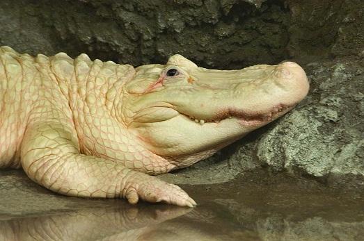 Белый крокодил Клод