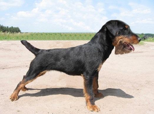 Ягдтерьер – необычная и интересная порода собак