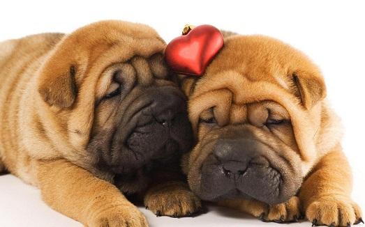Шарпей – оригинальная и верная собака