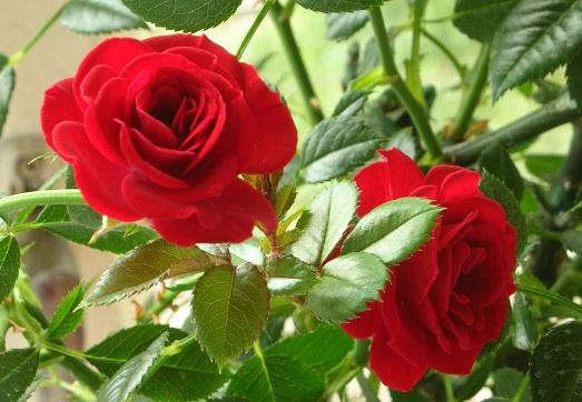 Комнатная роза – оригинальный цветок для вашего дома