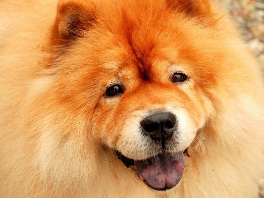 Как ухаживать за красивой собакой породы чау-чау?