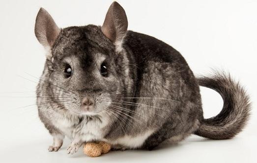 Шиншилла – милый, пушистый домашний зверек