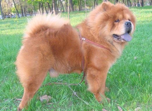 Как правильно ухаживать за породой собак чау-чау?