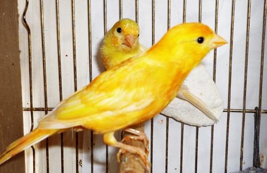Канарейка – прекрасная птичка для дома