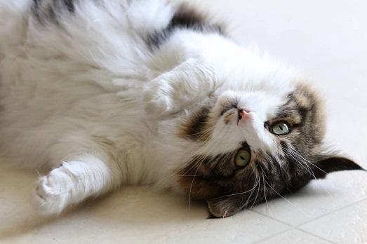 Почему кошки без ума от валерьянки?