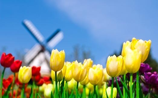 Основные секреты выращивания тюльпанов
