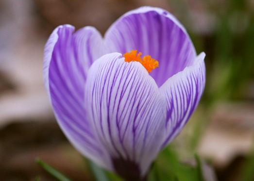Крокус выращивание цветок фото