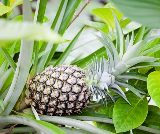 Как вырастить настоящий ананас?