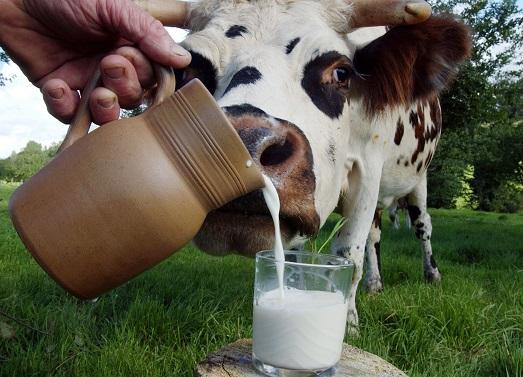 Чем полезно парное молоко?