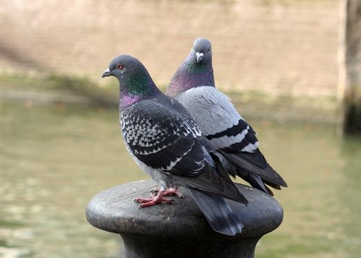 Как защитить свое жилье от голубей?