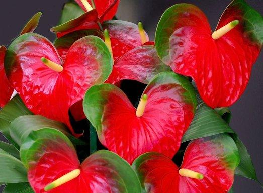 Антуриум — необычное растение для вашего жилья