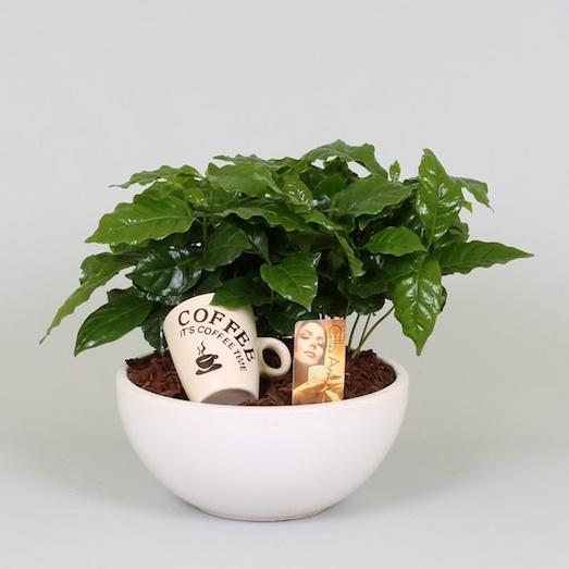 Как вырастить настоящее кофейное дерево на своем подоконнике?