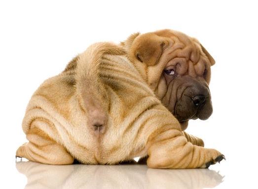 Реально ли приучить щенка к лотку?