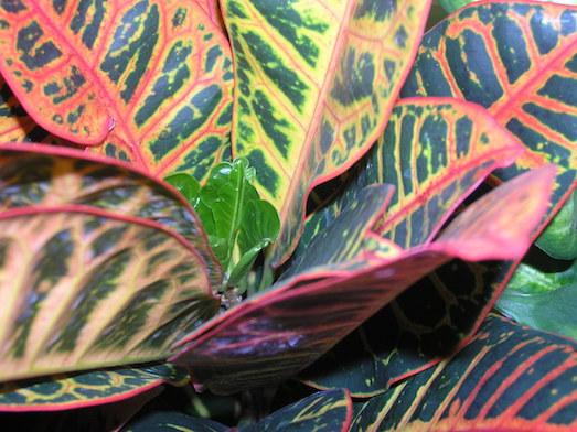 Кротон — красивое растение с необычным названием