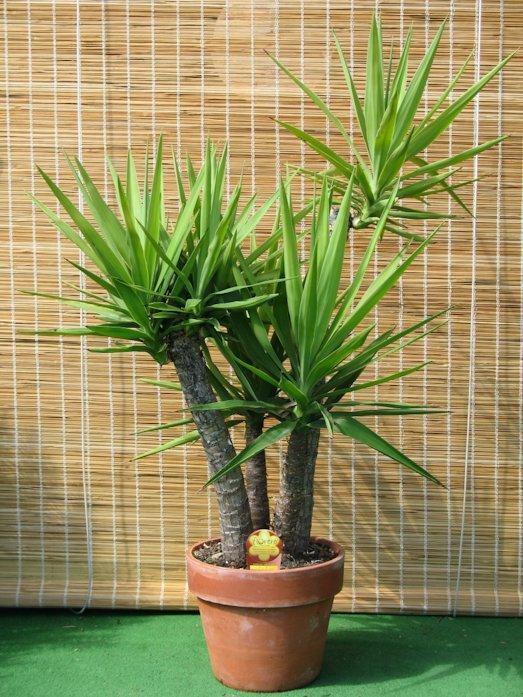 Как вырастить шикарную комнатную пальму?