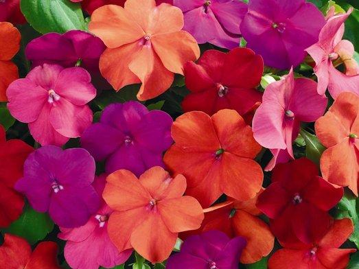 Бальзамин — красивое и интересное комнатное растение