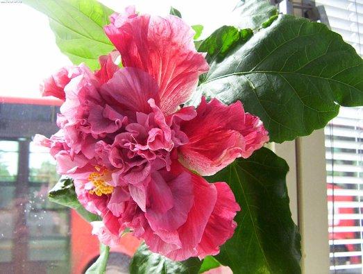 Как вырастить роскошный гибискус на своем окне?