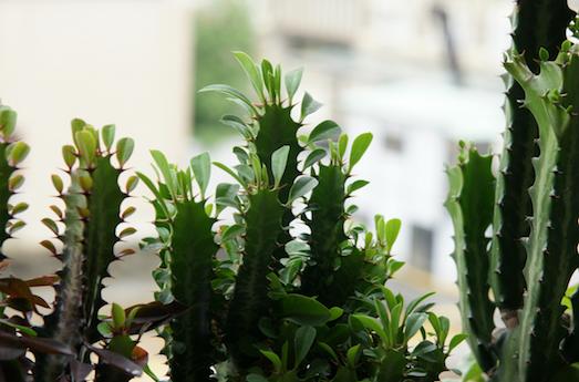 Комнатный молочай — необычный цветок для вашего дома