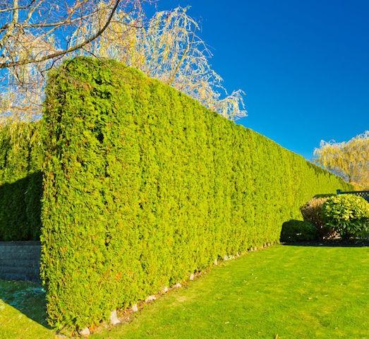 Цветущие кустарники для дачи - названия и фото растений 43