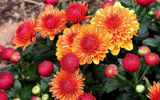 Как сохранить хризантему в зимний период?