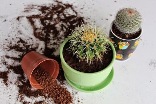 Как быстро и безопасно пересадить кактус?